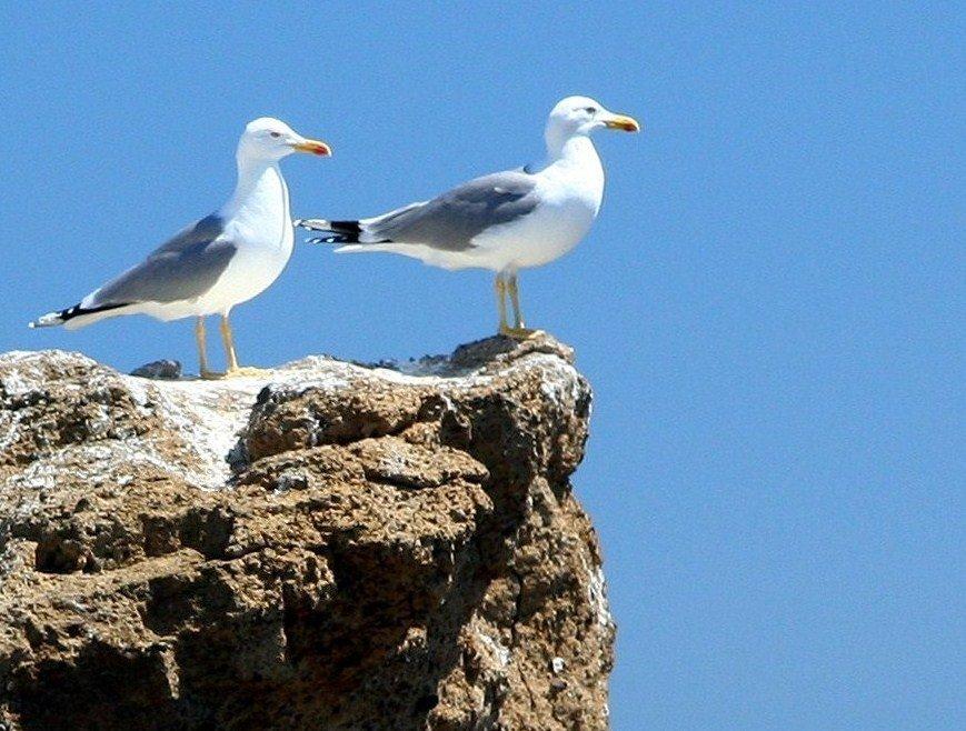 aves_columbretes