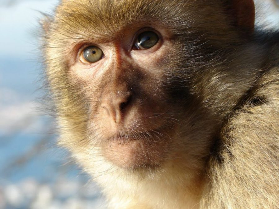 Gibraltar macaco RedCoat